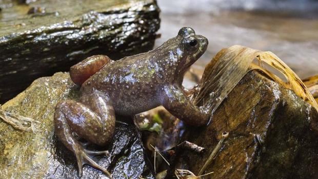 Uno de los anfibios más raros del mundo se aferra a la vida en solo 10 kilómetros cuadrados de bosque en Chile