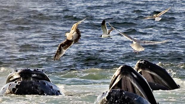 Las ballenas jorobadas llegan al Mediterráneo para alimentarse