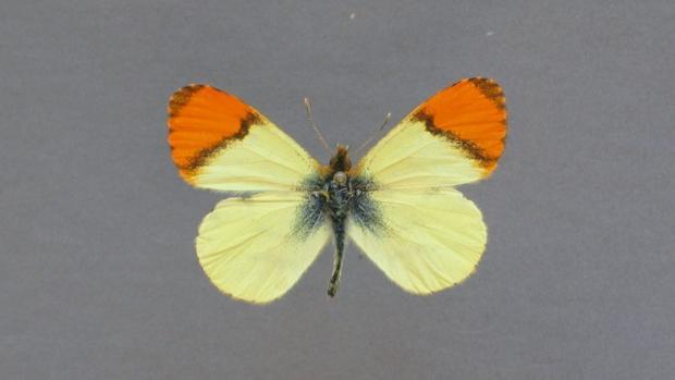 Ejemplar de Anthocharis belia