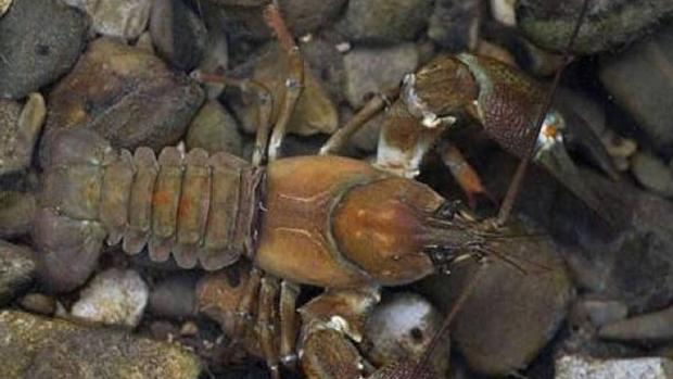 La peste del cangrejo sigue activa en la península Ibérica