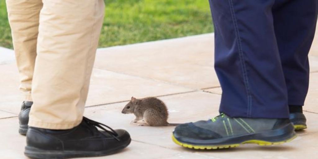 El escaño de la rata