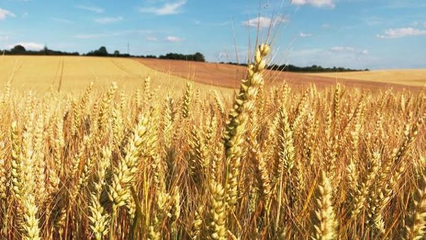 Los ATI presentes en el trigo pueden provocar efectos muy nocivos