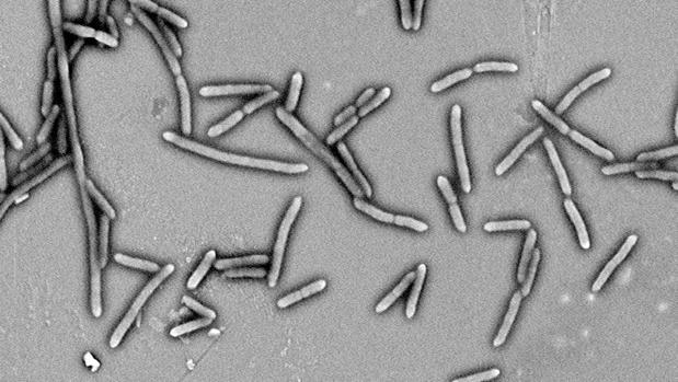 bacterias intestinales y diabetes