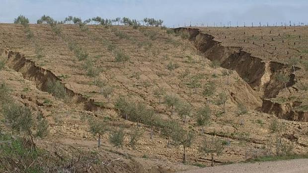 Olivares afectados por la erosión, en Córdoba.