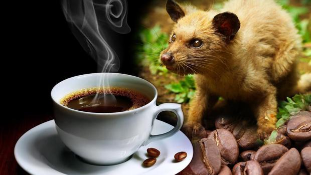 El café de civeta o Kopi Luwak, en su nombre local, procede de los excrementos de este animal en Indonesia