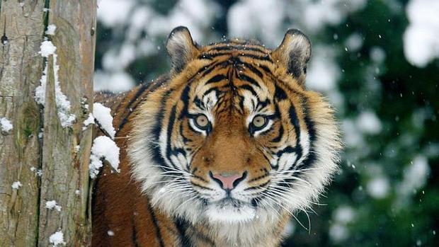 El tigre de Sumatra se aferra a la superviviencia pese a la deforestacin