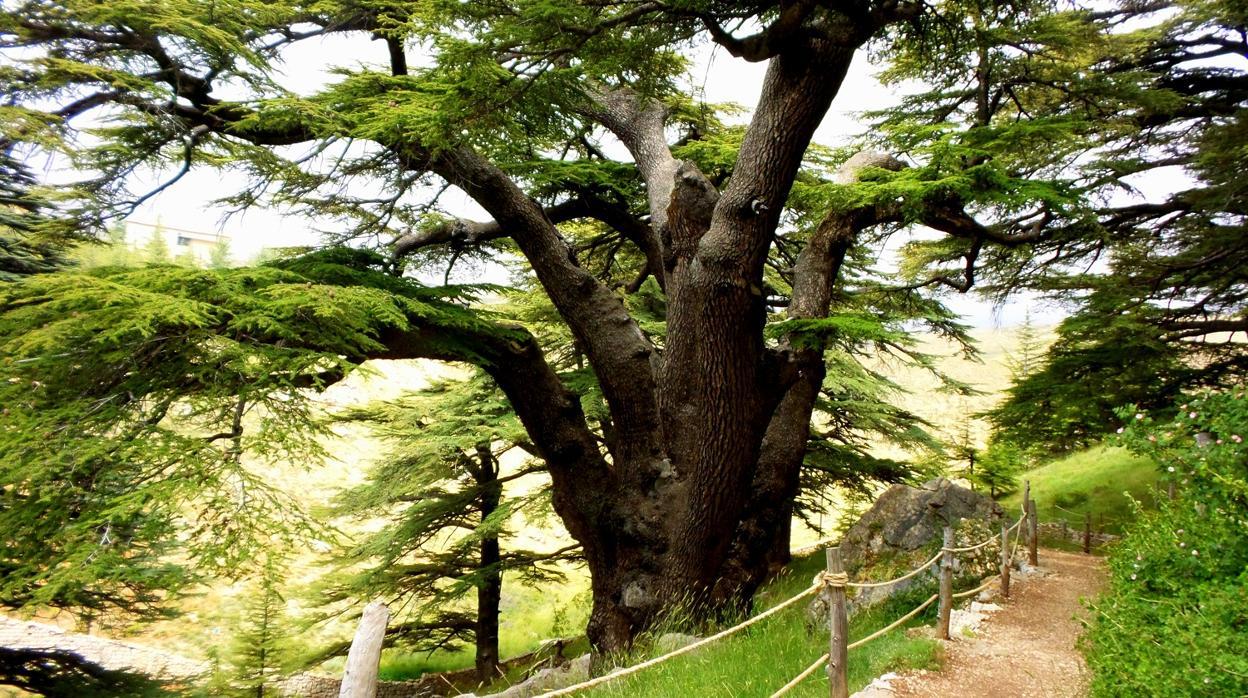 Uso del Árbol de cedro