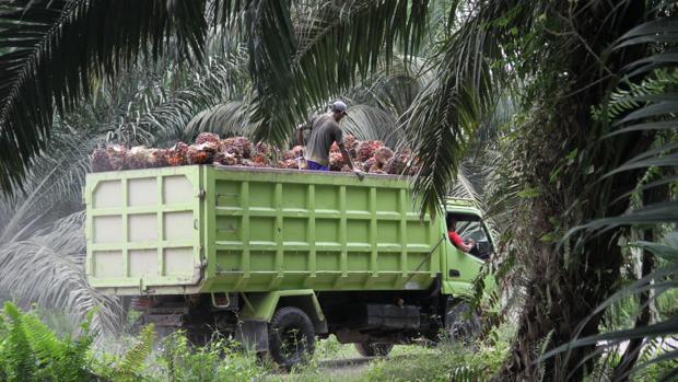 Cargado hasta los topes, un camión transporta los racimos de dátiles dentro de una plantación de aceite de palma