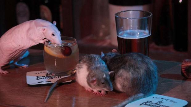 Varias ratas con las bebidas