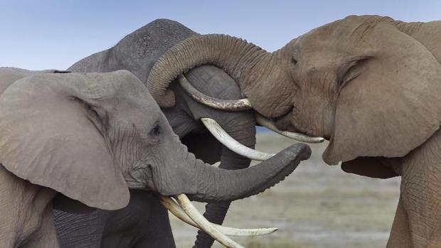 Tres elefantes frotan sus colmillos entre ellos