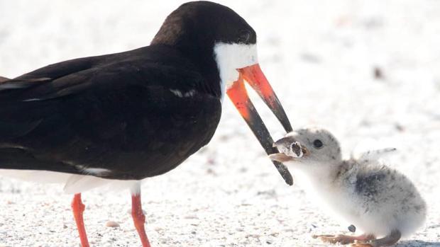 Un ave alimenta a su cría con una colilla en una playa de Florida