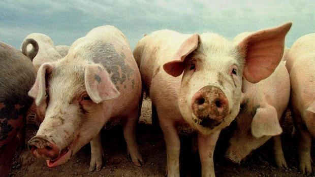 Cerdos domésticos