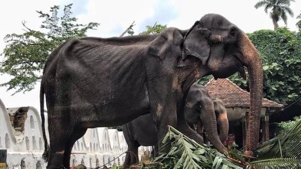 """""""Tikiri"""" es una de los 60 elefantes que se encuentran sometidos a desfilar en las fiestas de Esala Parahera"""