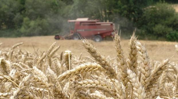 Una cosechadora recoge trigo en un campo en la localidad de Okina, próxima a Vitoria